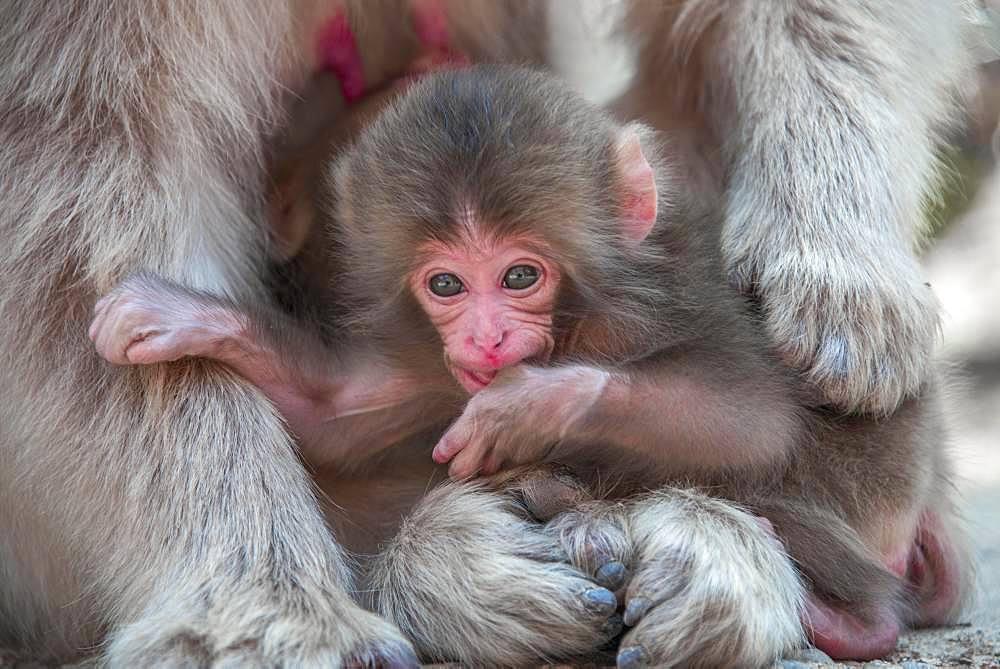 Japanese macaque (Macaca fuscata), animal baby, Yamanouchi, Nagano Prefecture, Honshu Island, Japan, Asia