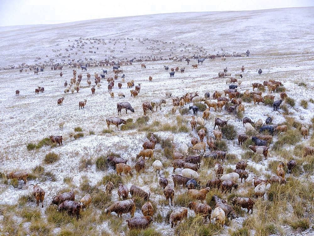 Goat herd in snowstorm, Mongolian steppe, Bulgan Aimag, Bulgan province, Mongolia, Asia