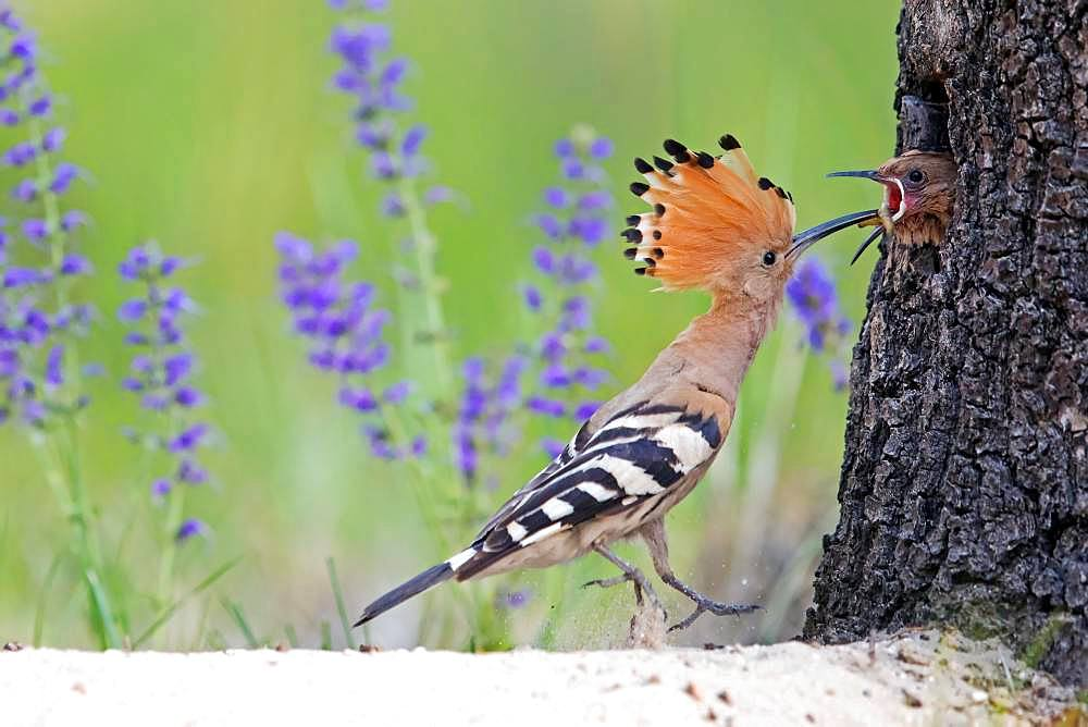Hoopoe (Upupa epops), adult bird feeds young birds at the breeding cave in the tree, worm in the beak, Saxony-Anhalt, Germany, Europe