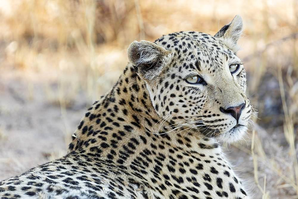 Leopard (Panthera pardus), animal portrait, Etosha National Park, Namibia, Africa