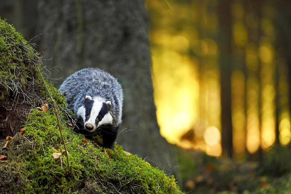 European badger (Meles meles), in the morning light on moss-covered hills standing in the forest, captive, Bohemian Forest, Czech Republic, Europe