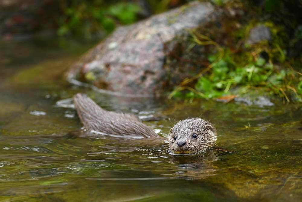 European otter (Lutra lutra), young animal swimming in a pond, captive, Switzerland, Europe