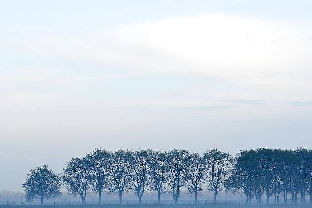 Row of trees in fog, bare trees, Lower Rhine, North Rhine-Westphalia, Germany, Europe