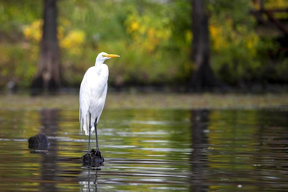 Great egret (Ardea alba) sits on tree stump in water, Atchafalaya Basin, Louisiana, USA, North America