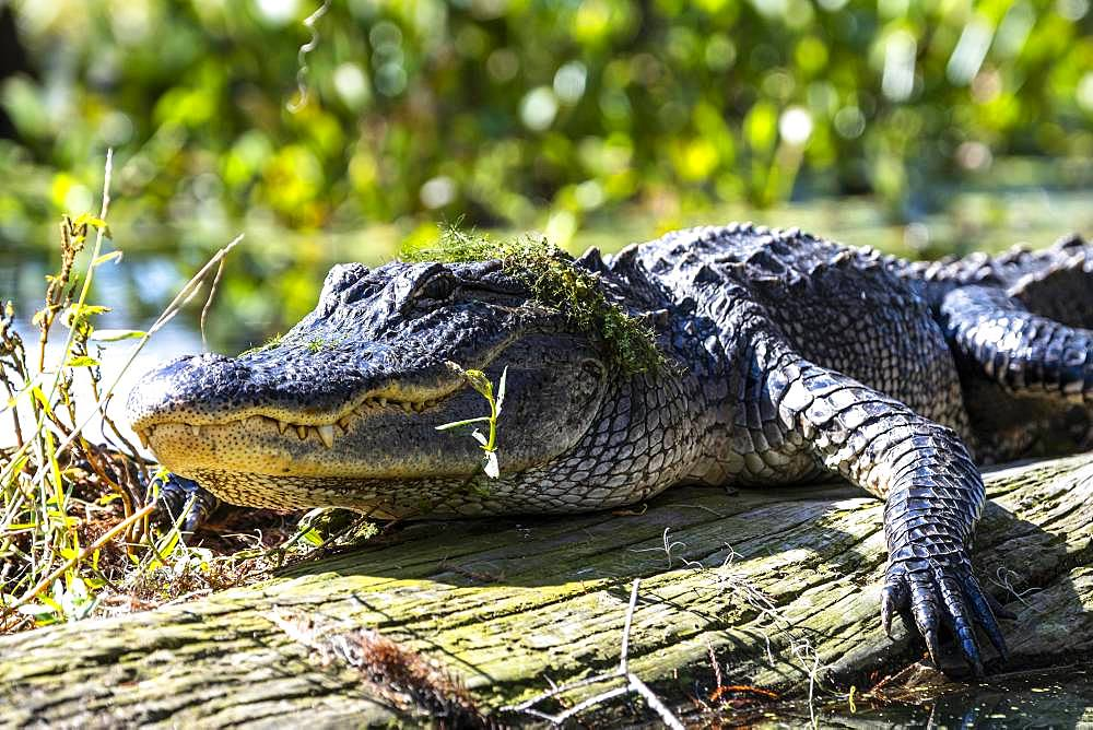 American alligator (Alligator mississippiensis), located on tree trunk, animal portrait, Atchafalaya Basin, Louisiana, USA, North America