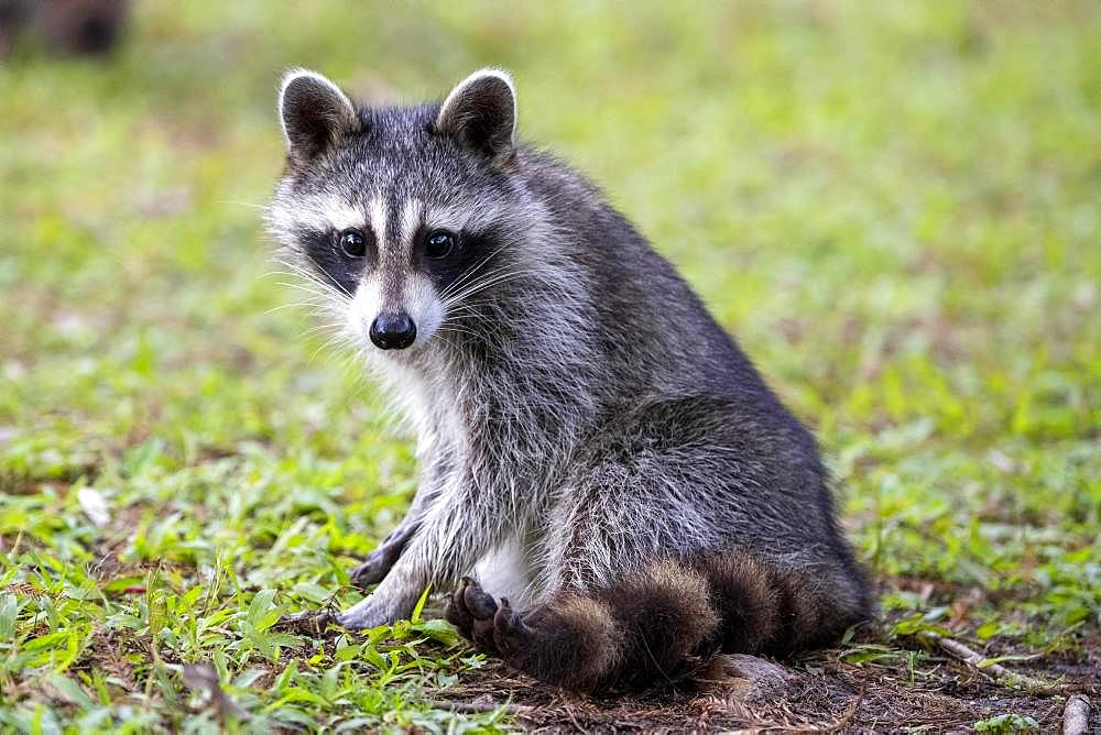 Raccoon (Procyon lotor) sits in a meadow, Louisiana, USA, North America