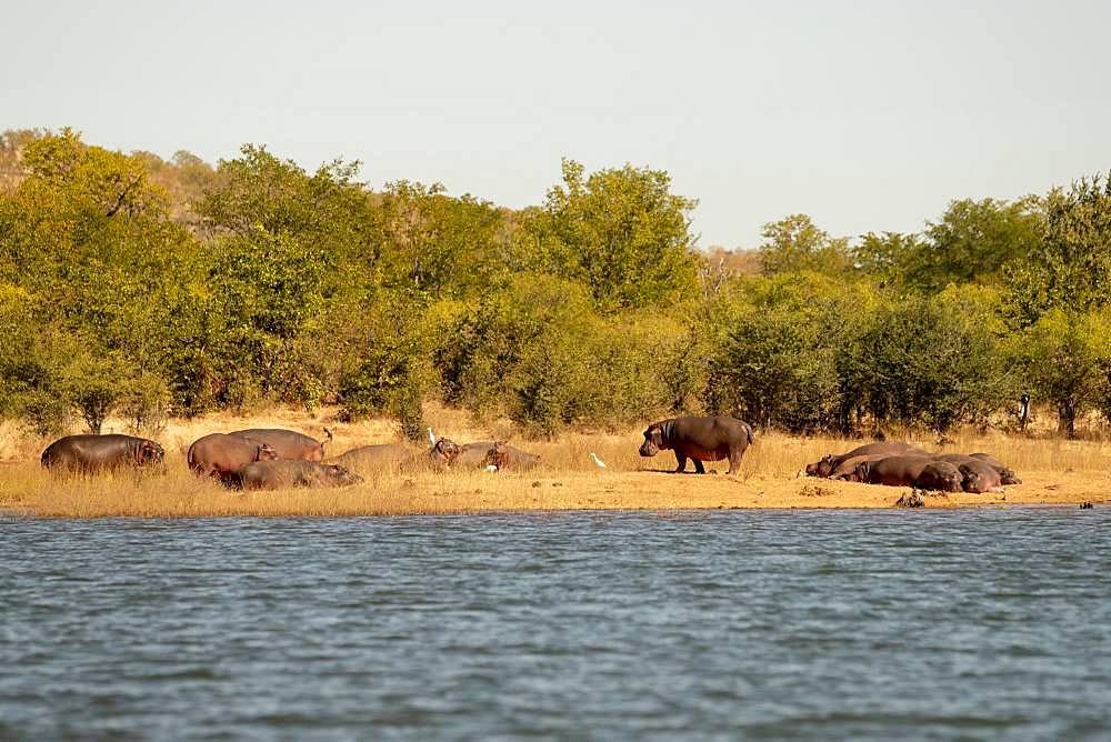 Hippos (Hippopotamus amphibius) on shore, Lake Kariba, Zimbabwe, Africa