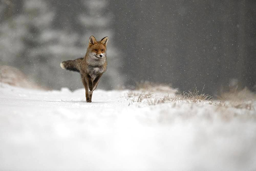 Red fox (Vulpes vulpes) in winter, running during snowfall, Eifel, Rhineland-Palatinate, Germany, Europe