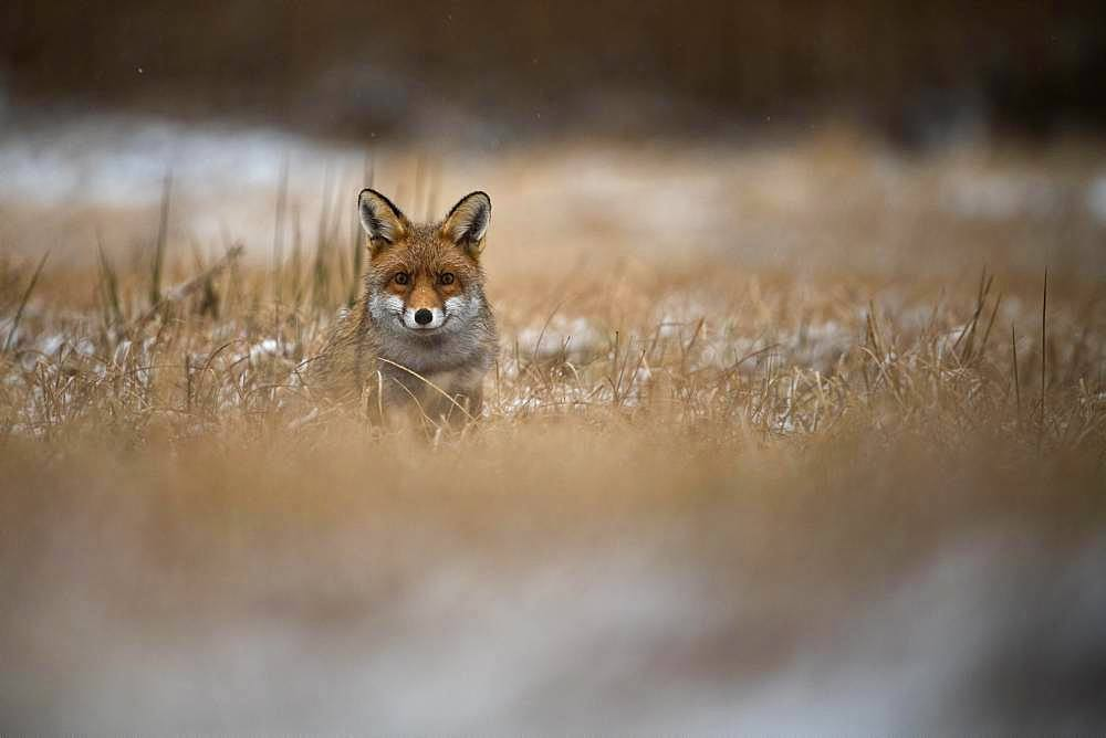 Red fox (Vulpes vulpes) in winter, Eifel, Rhineland-Palatinate, Germany, Europe