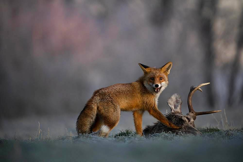 Red fox (Vulpes vulpes) eats on dead deer in winter, Eifel, Rhineland-Palatinate, Germany, Europe