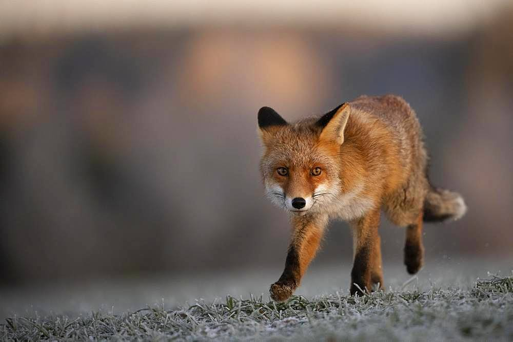 Red fox (Vulpes vulpes) running at hoarfrost in winter, Eifel, Rhineland-Palatinate, Germany, Europe