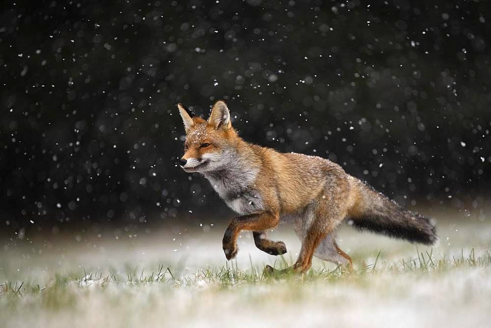 Red fox (Vulpes vulpes) runs during snowfall, Eifel, Rhineland-Palatinate, Germany, Europe