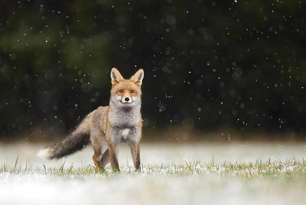 Red fox (Vulpes vulpes) during snowfall, Eifel, Rhineland-Palatinate, Germany, Europe