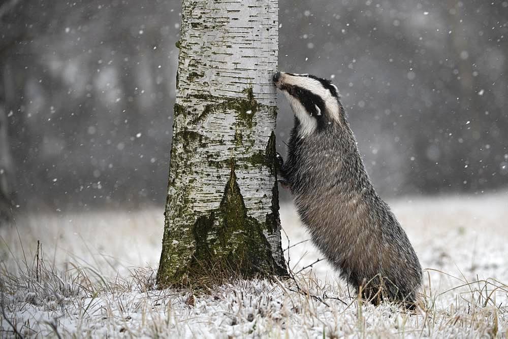 European badger (Meles meles) sniffs at tree in winter, Eifel, Rhineland-Palatinate, Germany, Europe