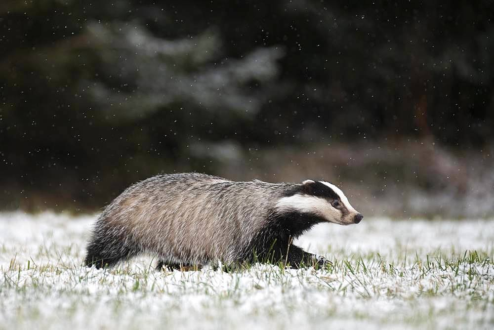 European badger (Meles meles) runs over snowy meadow during snowfall, Eifel, Rhineland-Palatinate, Germany, Europe