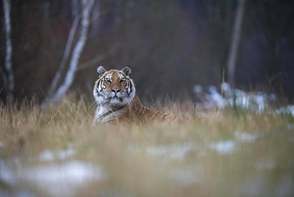 Siberian tiger (Panthera tigris altaica) lies attentively in the grass, captive, Czech Republic, Europe