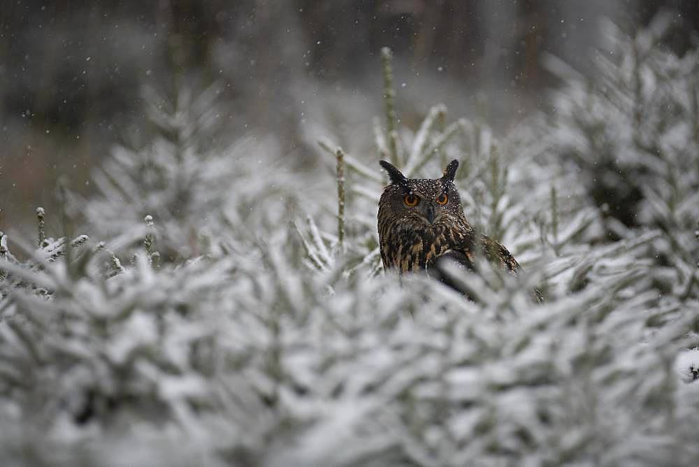 Eurasian eagle-owl (Bubo bubo) sitting in snowy conifers during snowfall, Eifel, Germany, Europe