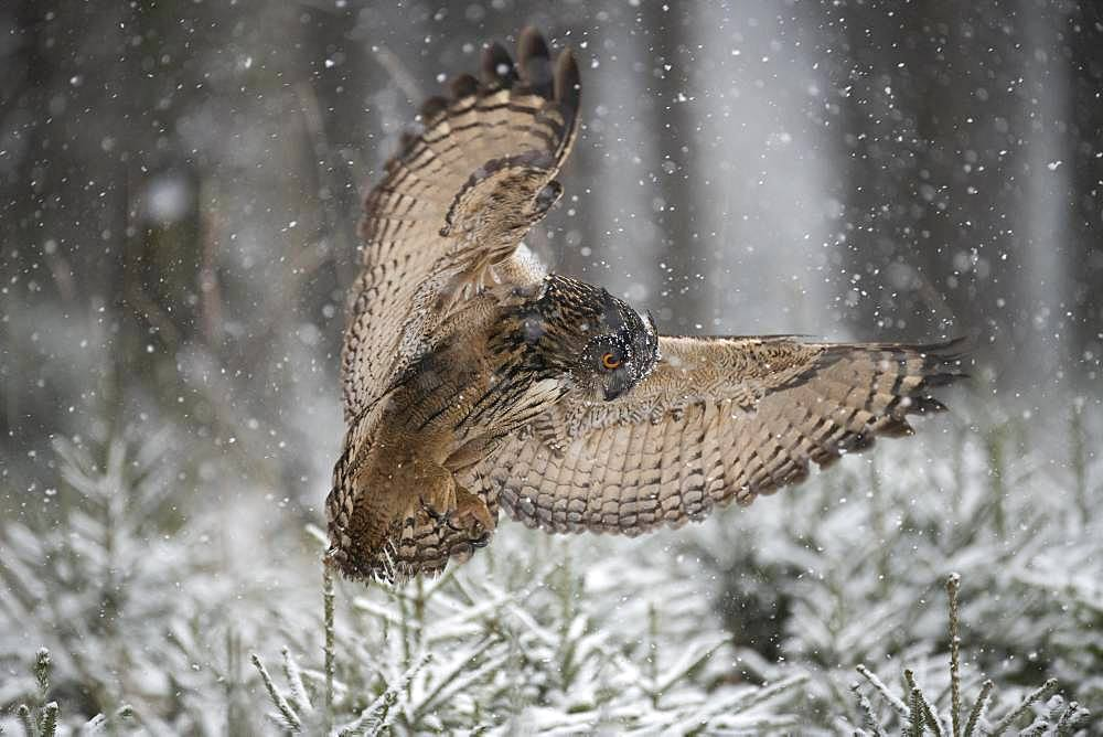 Eurasian eagle-owl (Bubo bubo) on approach over coniferous trees, snowfall, Eifel, Germany, Europe