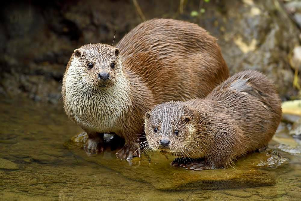 European otter (Lutra lutra), female with young animal sitting on stone on the bank of a pond, captive, Switzerland, Europe