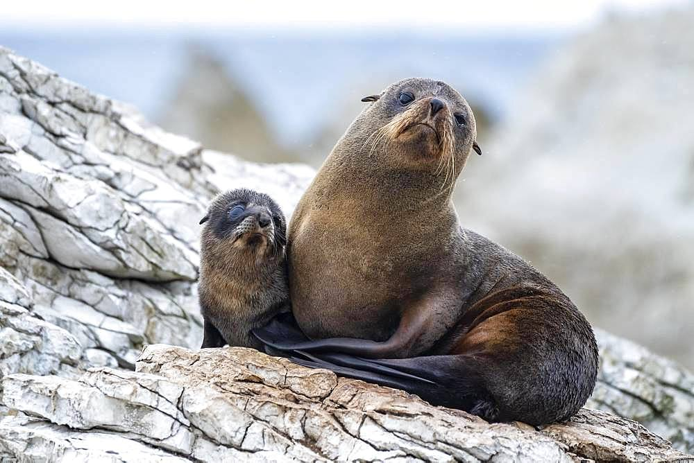New Zealand fur seals (Arctocephalus forsteri), dam with young on rock, Kaikoura, Canterbury, South Island, New Zealand, Oceania - 832-386988