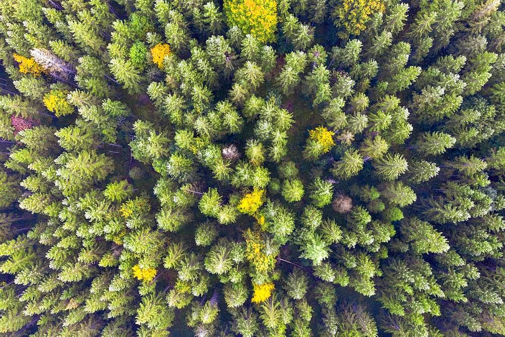Autumn mixed forest from above, near Kruen, drone shot, Upper Bavaria, Bavaria, Germany, Europe