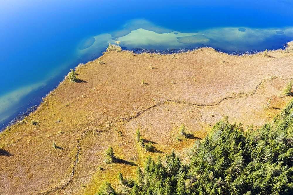 Shore area with reed belt at Lake Barmsee, near Kruen, Werdenfelser Land, drone shot, Upper Bavaria, Bavaria, Germany, Europe