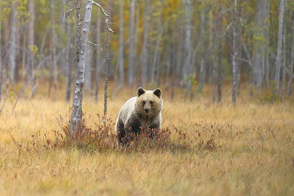 Brown bear (Ursus arctos) in the Finnish Taiga, Kainuu, North Karelia, Kuhmo, Finland, Europe
