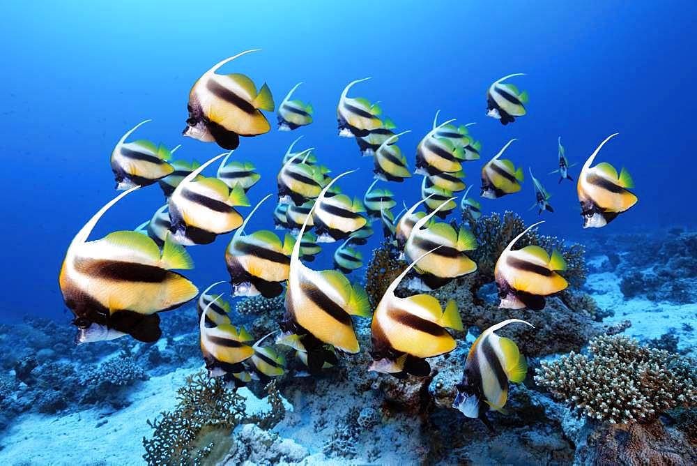 Swarm Red Sea bannerfish (Heniochus intermedius), Red Sea, Egypt, Africa