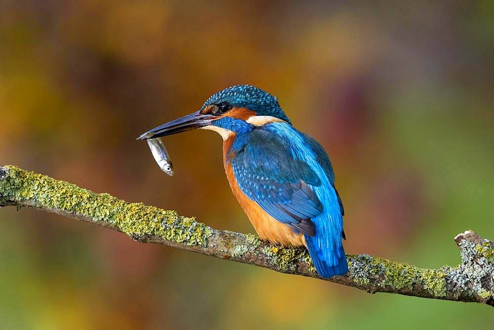 Common kingfisher (Alcedo atthis), male with fish, Hesse, Germany, Europe