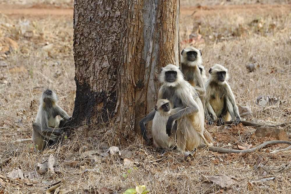 Northern plains gray langurs (Semnopithecus entellus), animal group sitting in grass, Tadoba Andhari Tiger Reserve, India, Asia