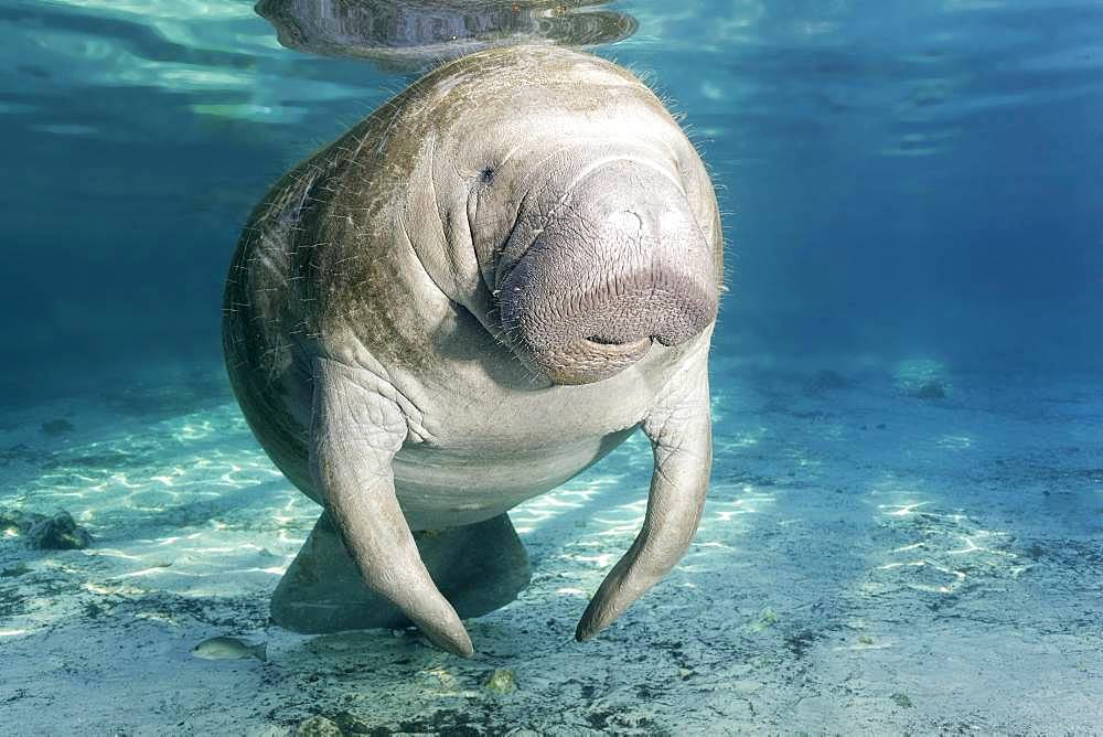 West Indian manatee (Trichechus manatus), female, cow, Three Sisters Springs, Manatee Sanctuary, Crystal River, Florida, USA, North America