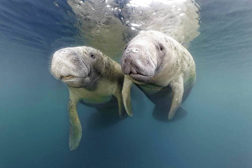 Pair West Indian manatees (Trichechus manatus), Three Sisters Springs, Manatee Sanctuary, Crystal River, Florida, USA, North America