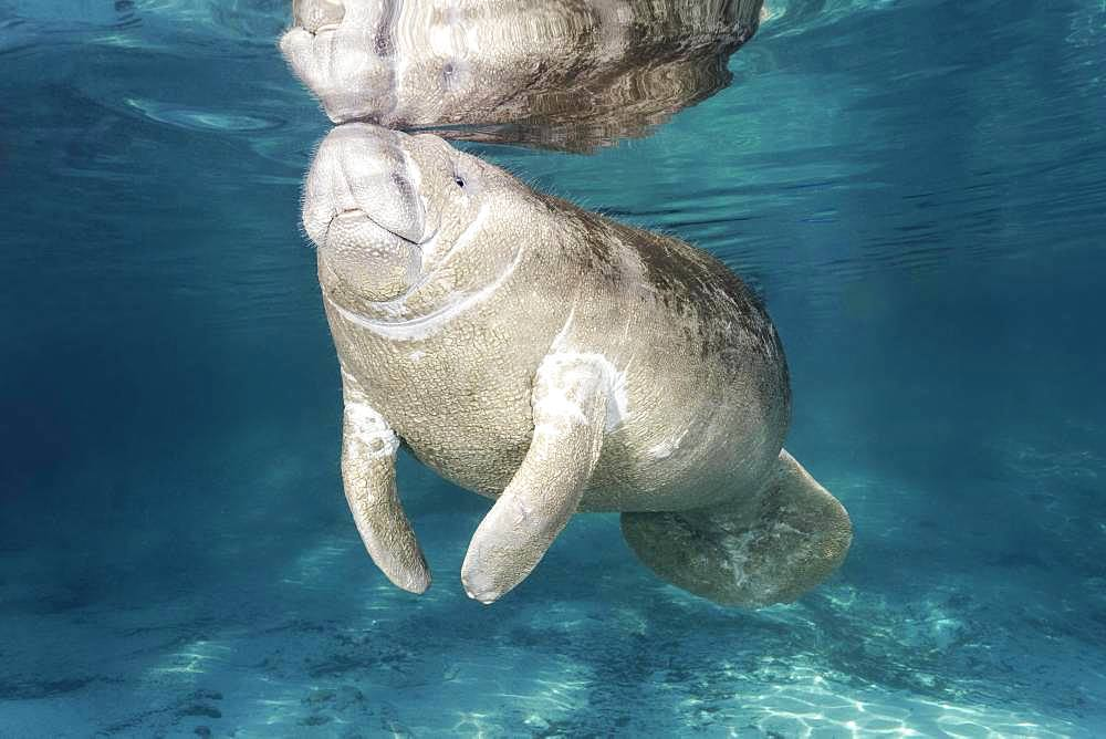 West Indian manatee (Trichechus manatus), young animal, calf, Three Sisters Springs, Manatee Conservation Area, Crystal River, Florida, USA, North America