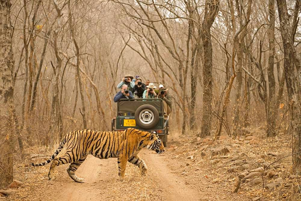 Tourists on a vehicle taking picture of a wild tiger (Panthera tigris tigris) crossing the forest track, while on safari, in the dry jungle, Ranthambore National Park, Rajasthan, Inida
