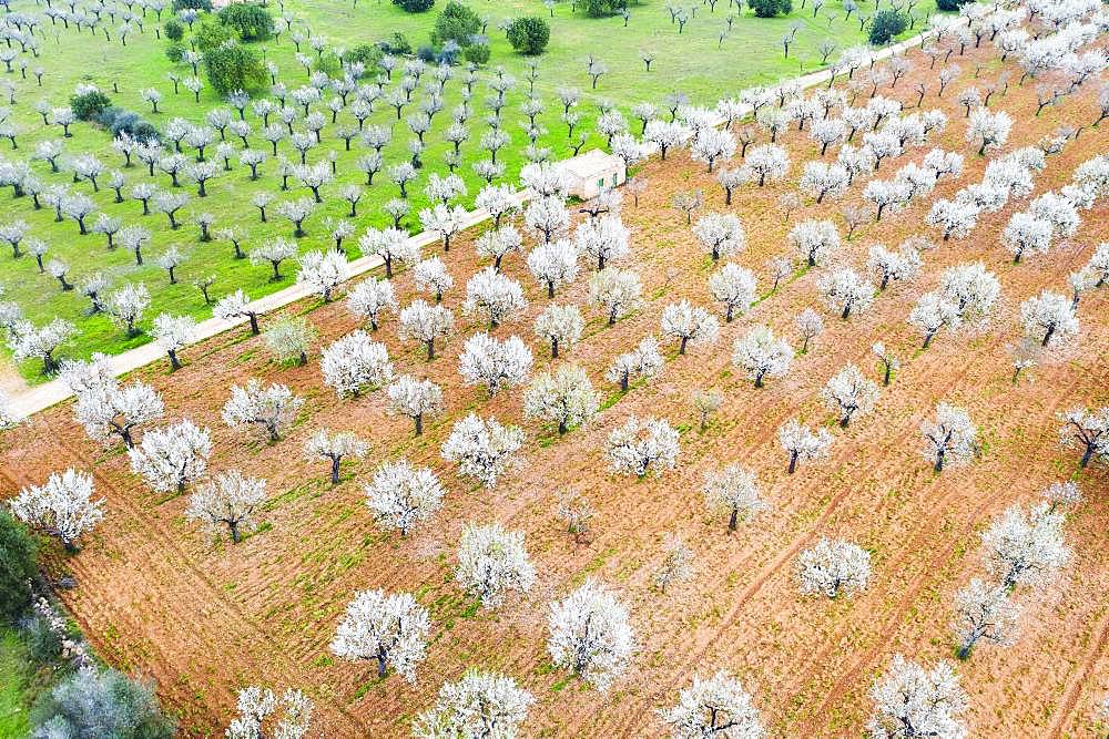 Almond blossom, flowering almond trees in plantation, near Marratxi, aerial view, Majorca, Balearic Islands, Spain, Europe