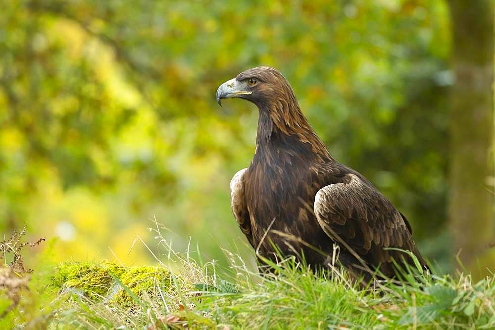 Golden eagle (Aquila chrysaetos), adult, perched in woodland, Scotland, United Kingdom, Europe