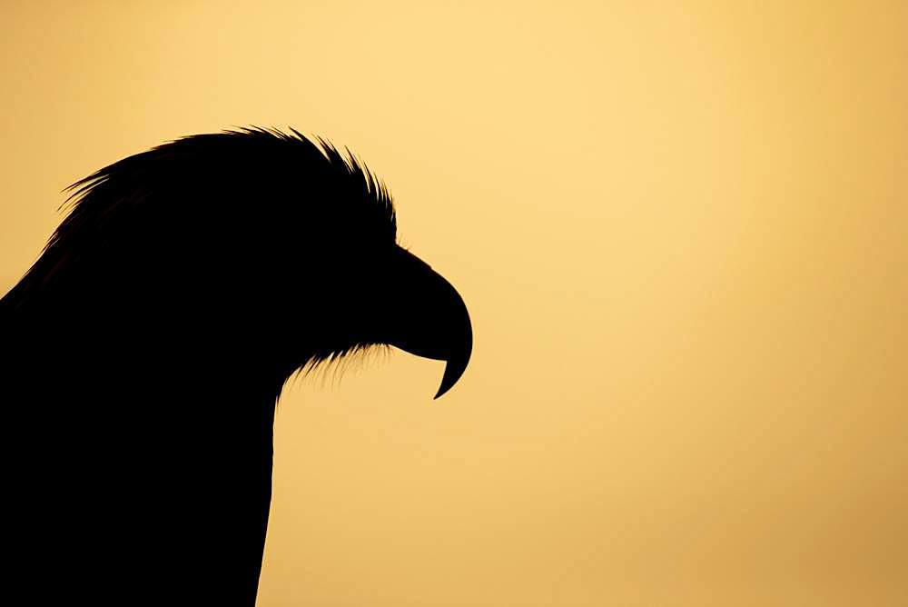 Golden eagle (Aquila chrysaetos), adult, animal portrait, silhouette at sunset, Scotland, United Kingdom, Europe