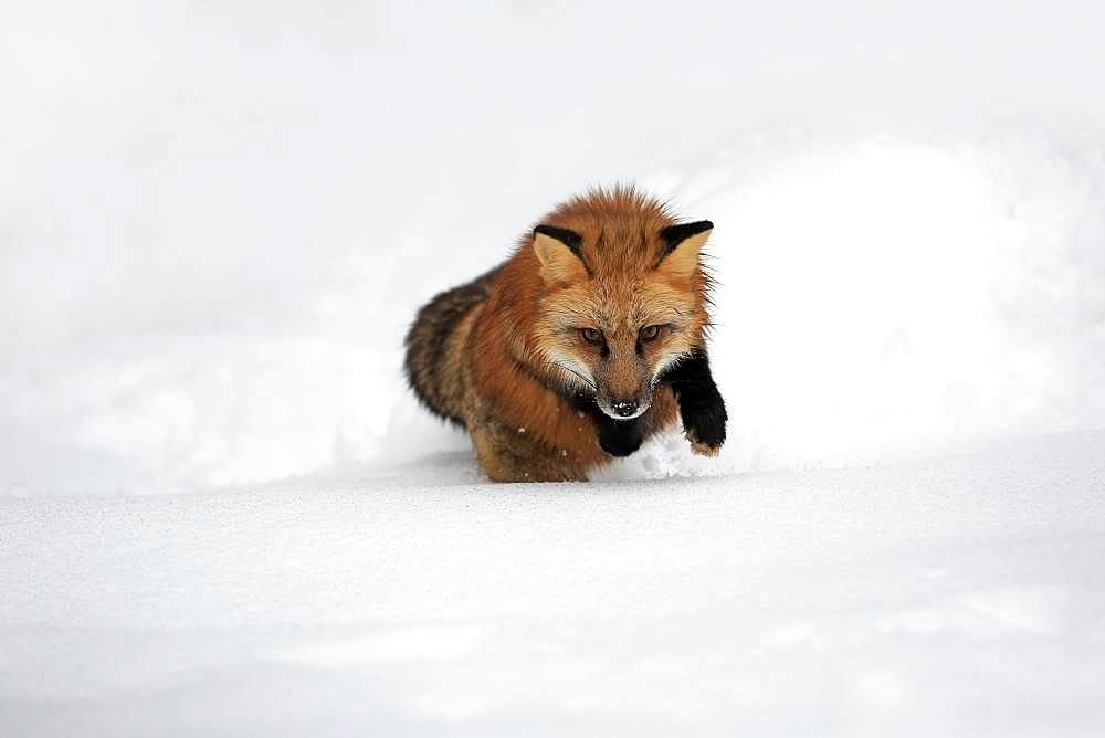 American red fox, (Vulpes fulva), adult, in winter, in snow, foraging, hunting, Montana, North America, USA, North America