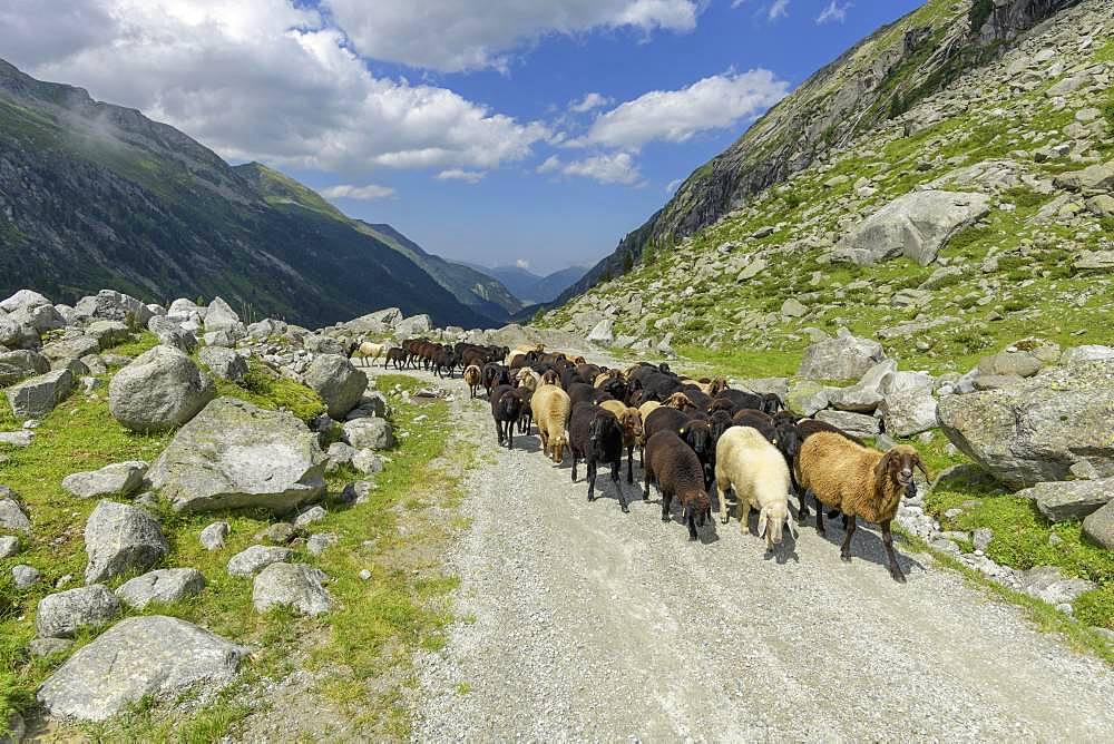 Flock of sheep, NP Hohe Tauern, Obersulzbachtal, Salzburg, Austria, Europe