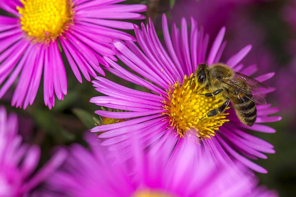 Honey bee (Apis mellifera) on Asterflower (Aster), Lower Austria, Austria, Europe