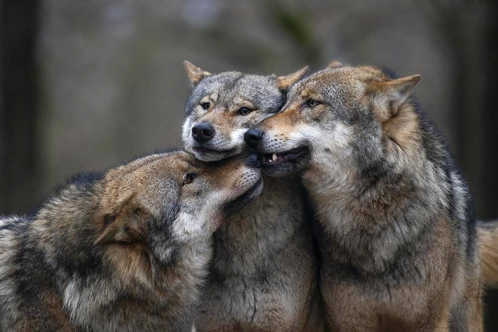 Gray wolf (Canis lupus), Kempfeld, Rheimland-Pfalz, Germany, Europe