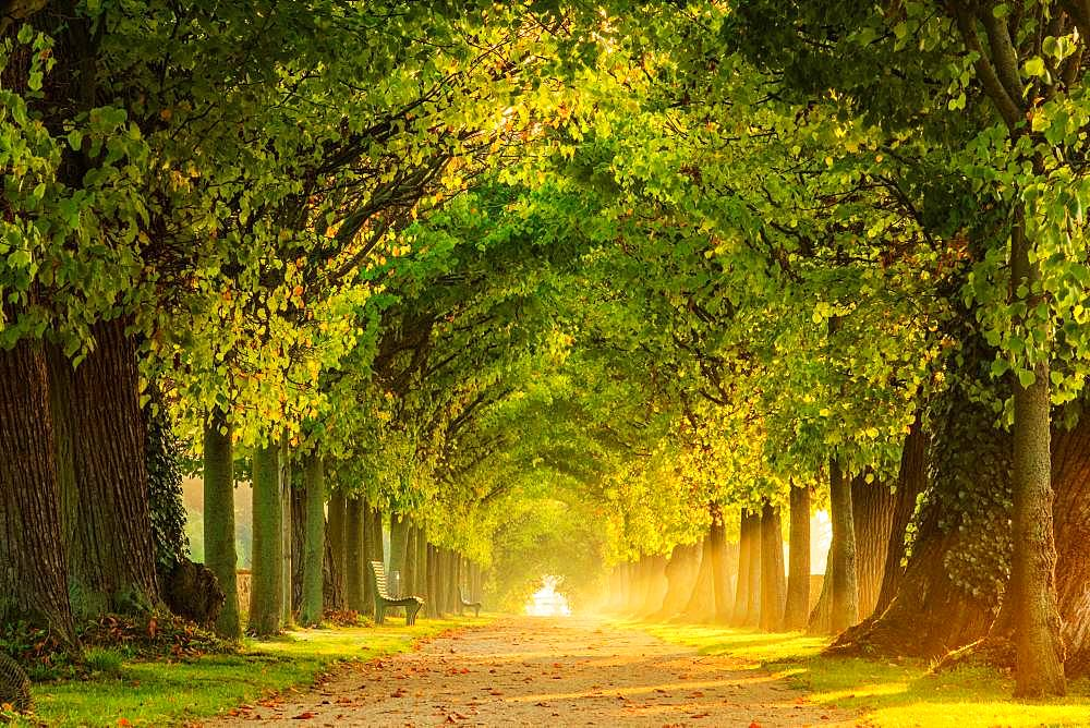 Tunnel-like avenue of linden trees in the morning light, park of Hundisburg Castle, Haldensleben, Saxony-Anhalt, Germany, Europe