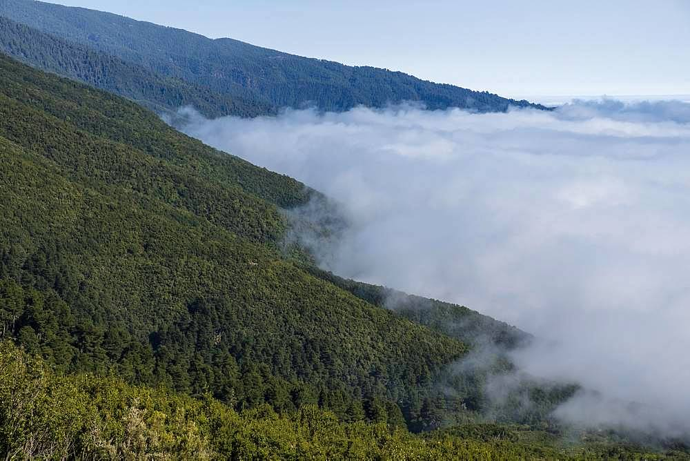 Cloud wall at mountain region, pine forest, La Palma, Canary Islands, Canary Islands, Spain, Europe