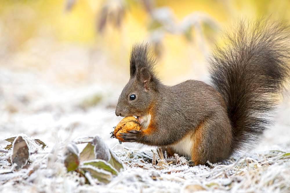 Eurasian red squirrel (Sciurus vulgaris), sits on the ground and eats walnut, hoarfrost, Tyrol, Austria, Europe