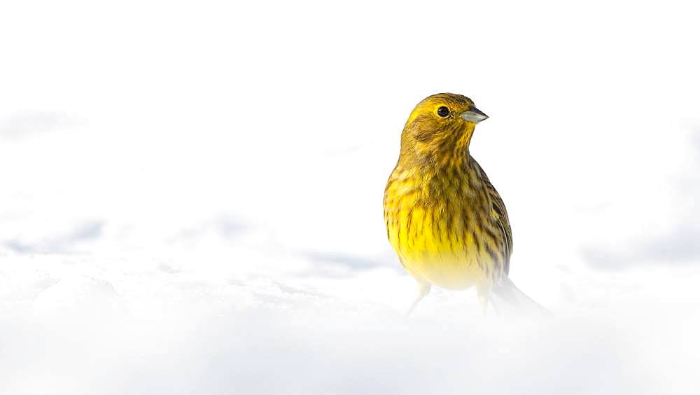 Yellowhammer (Emberiza citrinella), sitting on the snow-covered ground in winter, Tyrol, Austria, Europe