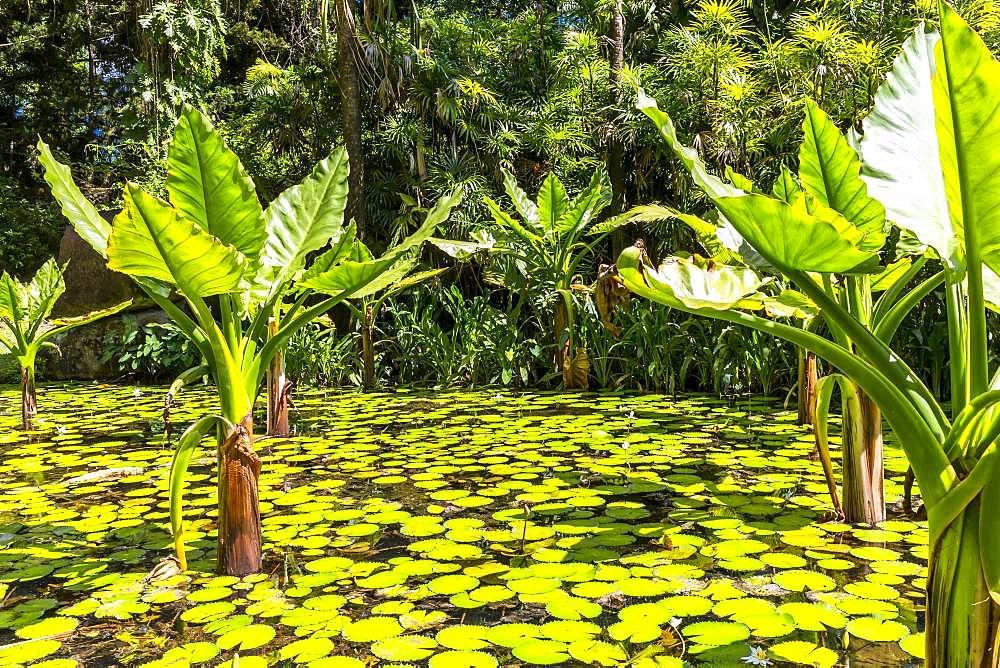 Water Banana Palms (Typhonodorum lindleyanum), Water Lily Pond, Victoria Botanical Garden, Mahe Island, Seychelles, Africa