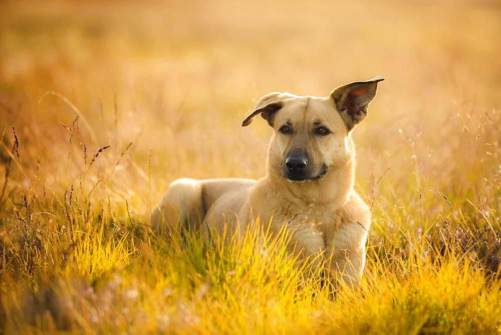 Mongrel dog, bitch lies in the grass, Lueneburger Heide, Germany, Europe - 832-387553