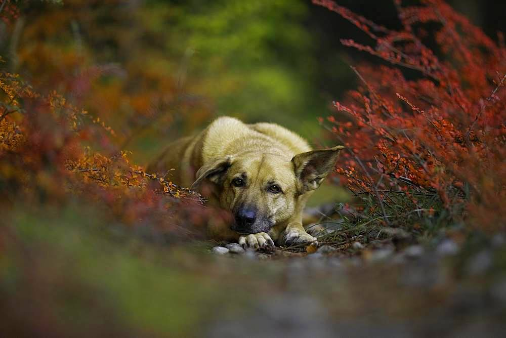 Mongrel dog, lying bitch in autumn, Austria, Europe