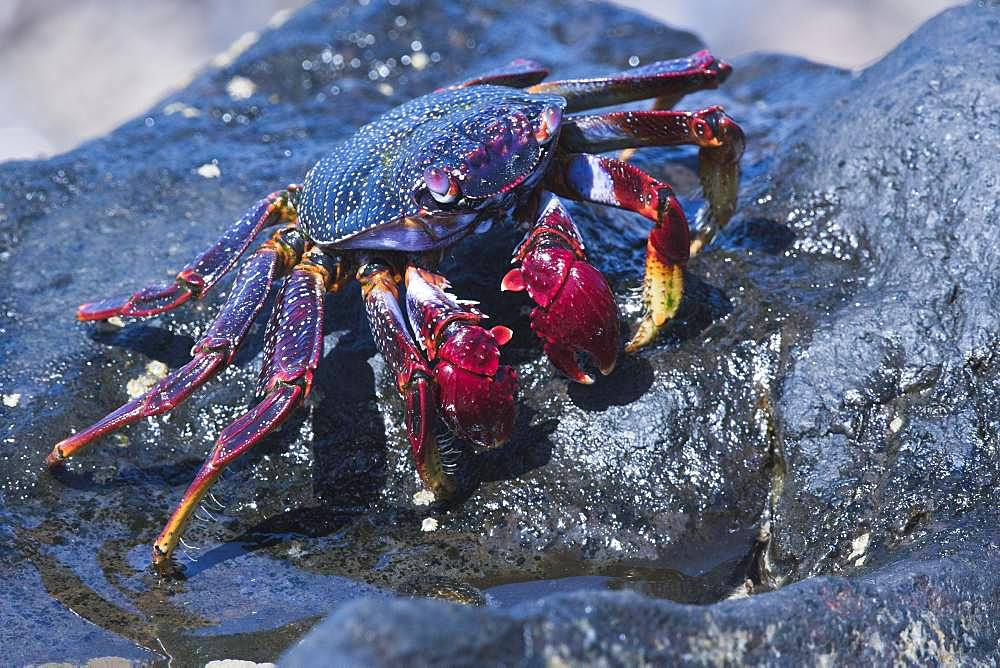 Red rock crab (Grapsus adscensionis), Tenerife, Spain, Europe