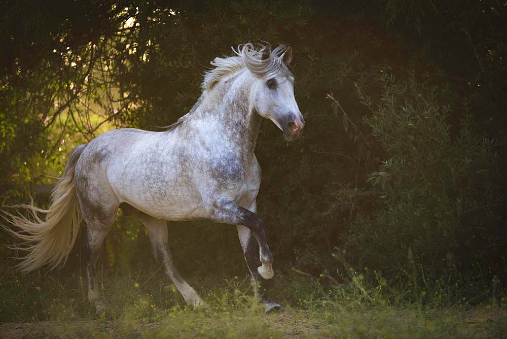 P.R.E. Stallion grey stallion galloping across the meadow; Andalusia, Spain, Europe